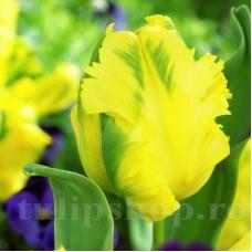 Bulbi Lalele Texas Gold (Tulip)