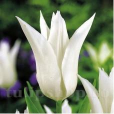 Bulbi Lalele Tres Chic (Tulip)