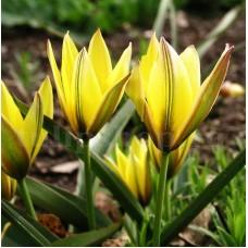 Bulbi Lalele Urumiensis (Tulip)