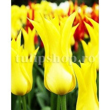 Bulbi Lalele West Point (Tulip)