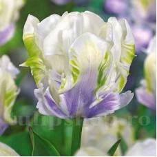 Bulbi Lalele White Lizard (Tulip)