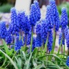 Bulbi Muscari Armeniacum