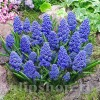 Bulbi Muscari Blue Spike
