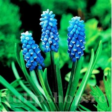 Bulbi Muscari Dark Eyes