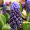 Bulbi Muscari Latifolium