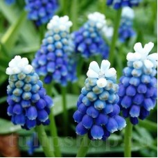 Bulbi Muscari Mount Hood