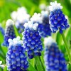 Bulbi Muscari Touch of Snow