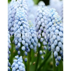 Bulbi Muscari Valerie Finish