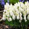 Bulbi Muscari White Magic