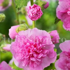 Bulbi Nalba Chater's Pink (Alcea)