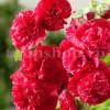 Bulbi Nalba Chater's Scarlet (Alcea)