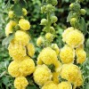 Bulbi Nalba Chater's Yellow (Alcea)