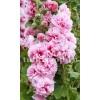 Bulbi Nalba Chater's Pink (Alcea)