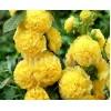 Bulbi Nalba Chater's Yellow (Alcea)
