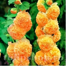 Bulbi Nalba Orange Shade (Alcea)