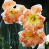 Bulbi Narcise Cum Laude