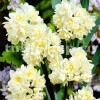 Bulbi Narcise Erlicheer