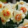 Bulbi Narcise Flower Drift