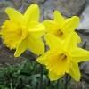 Bulbi Narcise Gigantic Star