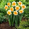 Bulbi Narcise Orangery