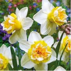 Bulbi Narcise Popeye