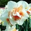 Bulbi Narcise Replete