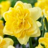 Bulbi Narcise Sweet Pomponette