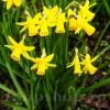 Bulbi Narcise Tete-a-Tete