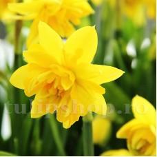 Bulbi Narcise Tete Boucle