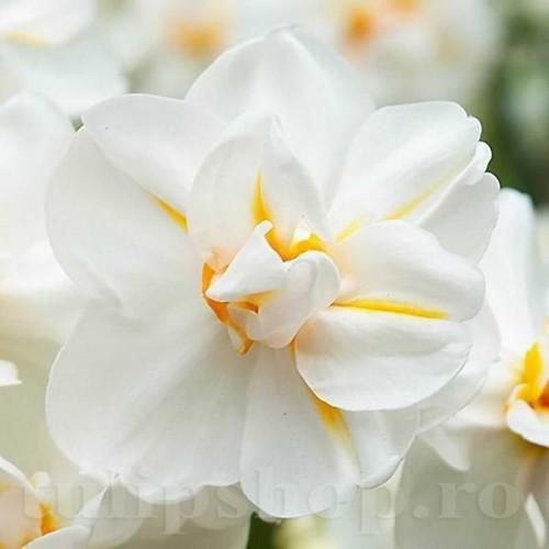 Bulbi Narcise Winston Churchill