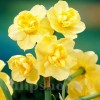 Bulbi Narcise Yellow Cheerfulness
