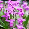 Bulbi Bletilla Striata (Orhidee)