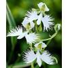 Bulbi Habenaria Radiata (Orhidee)