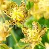 Bulbi Tricyrtis Golden Festival (Orhidee)