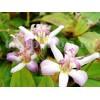 Bulbi Tricyrtis Tojen (Orhidee)