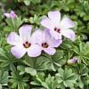 Bulbi Oxalis Adenophylla (Trifoi)