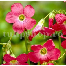 Bulbi Oxalis Iron Cross (Trifoi)