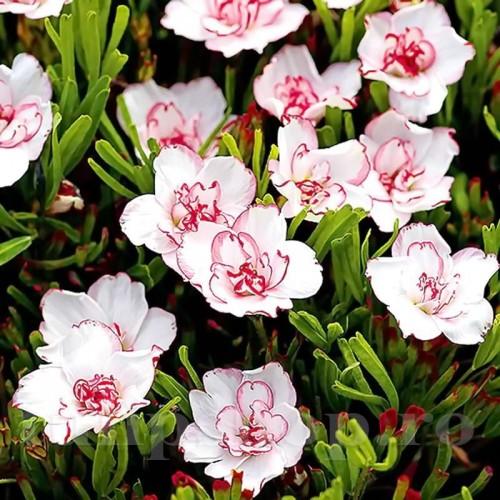 Bulbi Oxalis Double Pink Wonder (Trifoi)