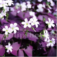 Bulbi Oxalis Triangularis (Trifoi)