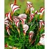 Bulbi Oxalis Versicolor (Trifoi)