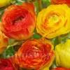 Bulbi Ranunculus Aviv Picotee Orange (Piciorul Cocosului)