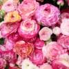 Bulbi Ranunculus Aviv Picotee Rose (Piciorul Cocosului)