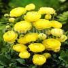 Bulbi Ranunculus Galben (Piciorul Cocosului)