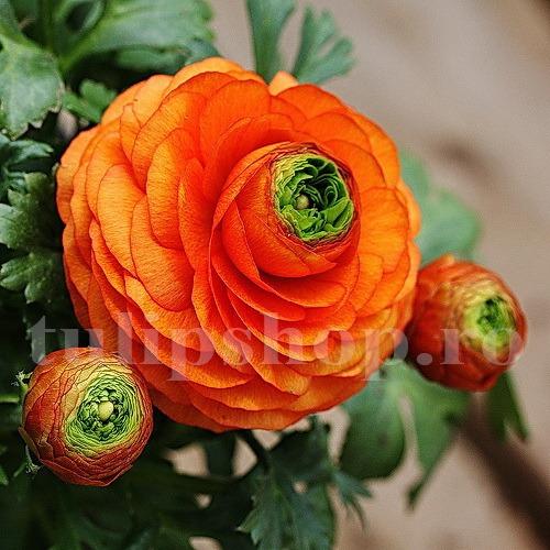 Bulbi Ranunculus Portocaliu (Piciorul Cocosului)