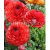 Bulbi Ranunculus Rosu (Piciorul Cocosului)