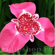Bulbi Tigridia Lilacea