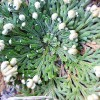 Bulbi Trandafir de Ierihon (Selaginella Lepidophylla)