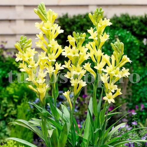 Bulbi Tuberoze Super Gold (Polianthes)