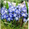 Bulbi Viorea Forbesi Blue (Chionodoxa)