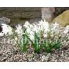 Bulbi Viorea Sibirica Alba (Scilla)